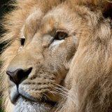 Četiri lava iz zoo vrta u Barseloni ozdravila od korona virusa 14