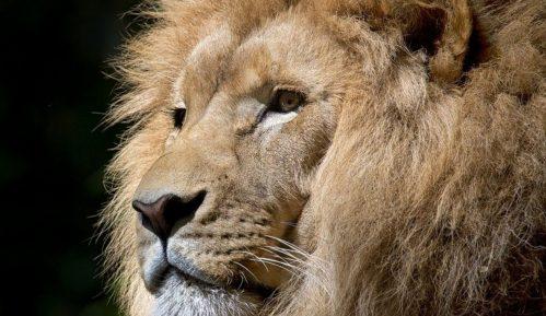 Četiri lava iz zoo vrta u Barseloni ozdravila od korona virusa 4