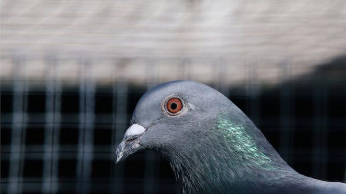 Australija, ptice i zdravlje: Golub koji je prešao Pacifik mora da bude ubijen 4