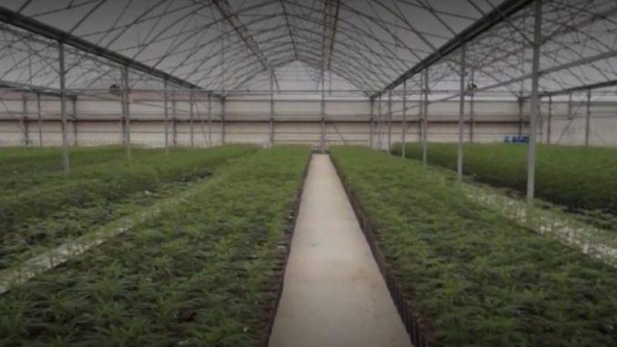 KRIK: Kako su iz MUP-a, BIA-e i VOA-e štitili plantažu marihuane 1