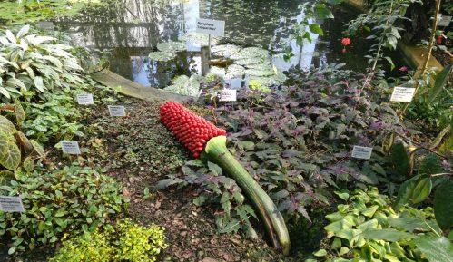 "Veliki napori za očuvanje ""smrdljive"" biljke 23"