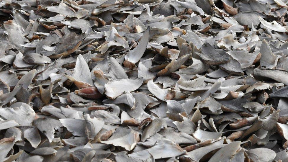 Shark fins displayed at a market in Dakar, Senegal