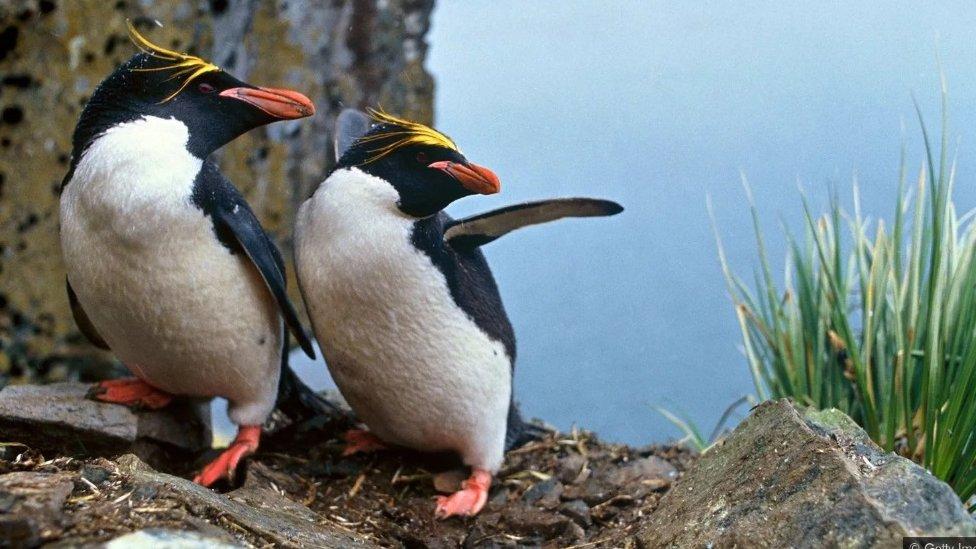 Poznato je da kod pingvina postoje blisko vezani istopolni parovi