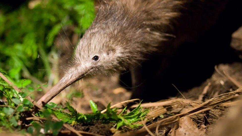 Verovatno zbog geološke anomalije, najbliži rođak ptice kivi potiče sa Madagaskara