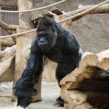 Gorila i dva lava u zoološkom vrtu u Pragu pozitivni na kovid-19 10