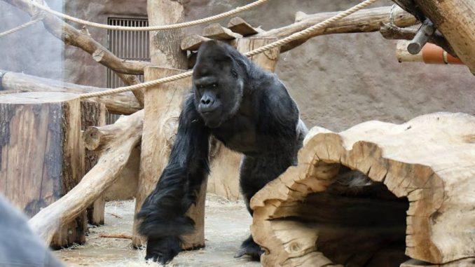 Gorila i dva lava u zoološkom vrtu u Pragu pozitivni na kovid-19 3