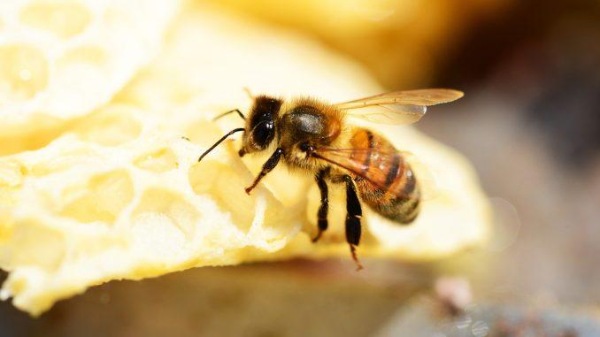 Kako klimatske promene ugrožavaju opstanak pčela? 4