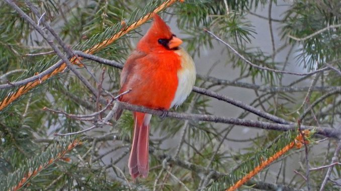 """Životinje: Severni kardinal - """"polu-ženka, polu-mužjak"""" uslikan u Pensilvaniji 3"""