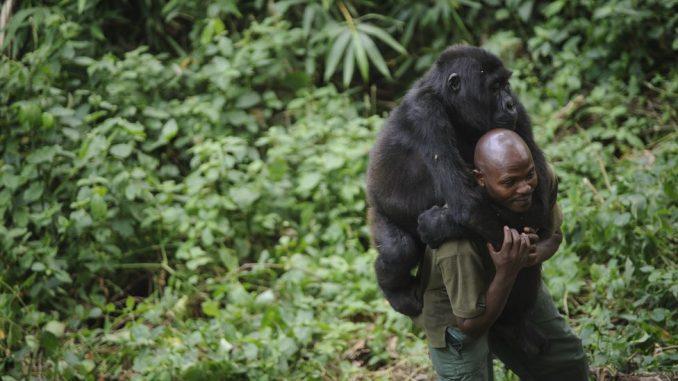 Životinje i Afrika: Spasavanje gorila u Kongu - jedan od najopasnijih poslova na planeti 2