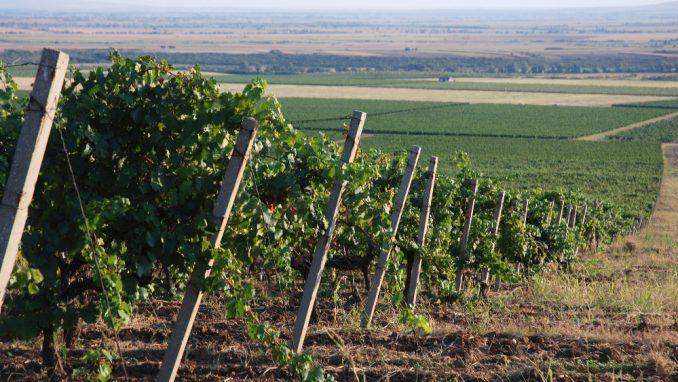 Vršački vinogradi i dalje u fiokama tužilaštva 4