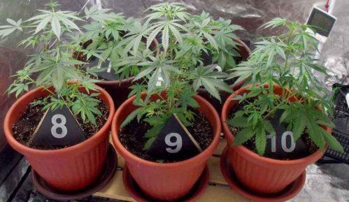 Uzgajao marihuanu u okolini Bajine Bašte 3