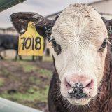 Na Svetski dan bez mesa stručnjaci upozoravaju: Ugroženi i vegani i nevegani 17