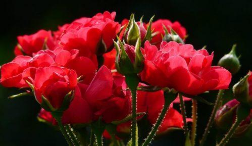 PKS: Srbija prošle godine izvezla ruže u vrednosti 2,5 miliona evra 8