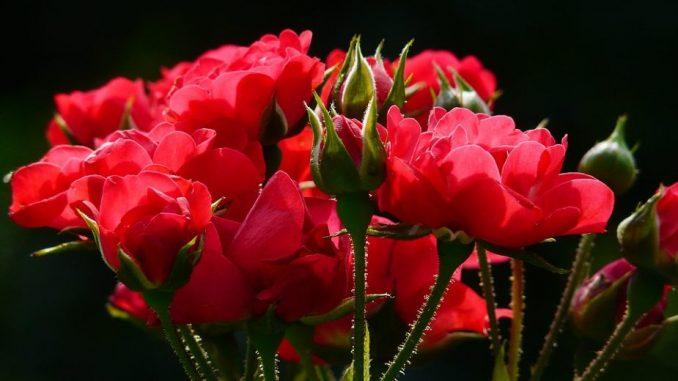 PKS: Srbija prošle godine izvezla ruže u vrednosti 2,5 miliona evra 3