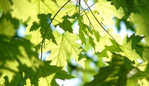 Umesto stare hrastove šume niče neprohodni bagremar 17