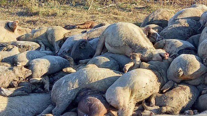 Inspekcija dezinfikuje humke, a tvrdi da nema uginulih svinja 3