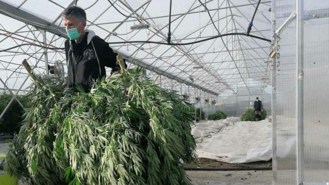 Procedure stoje na putu dekriminalizaciji medicinske marihuane 1