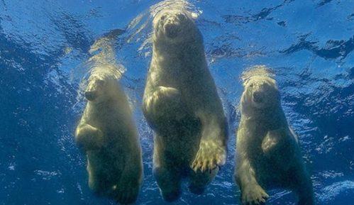 """Životinje i ljudi: Amos Nahum - fotograf koji je ostvario """"ludi san"""" da pliva sa polarnim medvedima 11"""