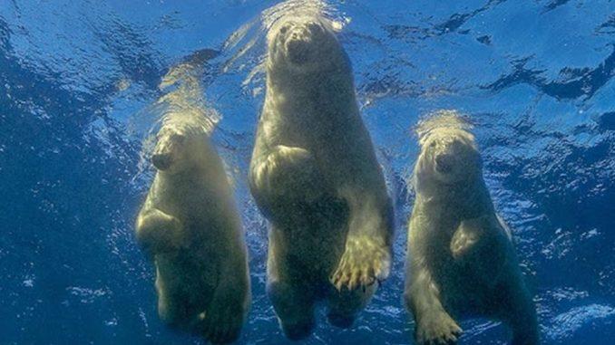 """Životinje i ljudi: Amos Nahum - fotograf koji je ostvario """"ludi san"""" da pliva sa polarnim medvedima 6"""