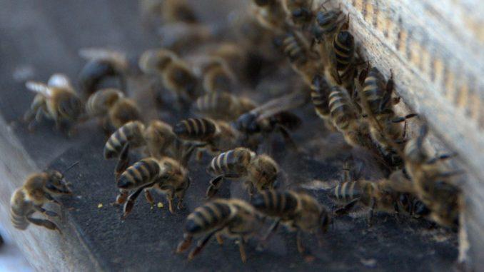 Životinje i tehnologija: Kad se pčele i dronovi udruže u traženju mina u Bosni i Hrvatskoj 4
