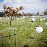 U Beogradu predstavljeni olimpijski krugovi od stabala japanske trešnje 2