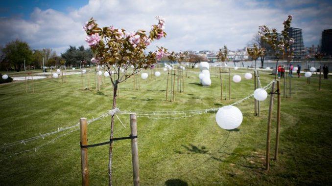 U Beogradu predstavljeni olimpijski krugovi od stabala japanske trešnje 3