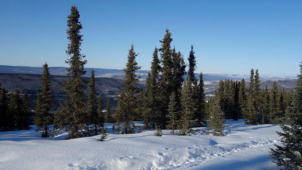 Black Spruce Trees, Fairbanks, Alaska, United States,
