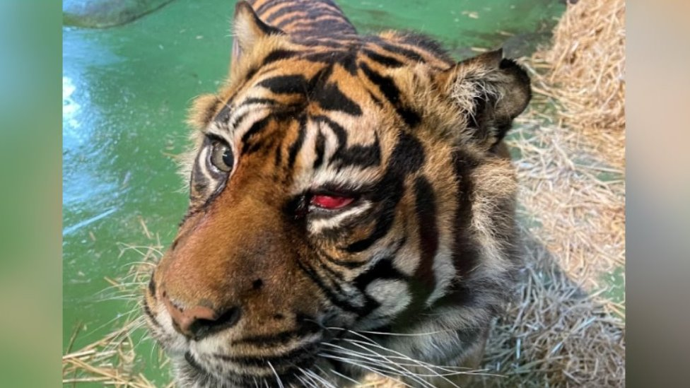 Tiger after eye operation