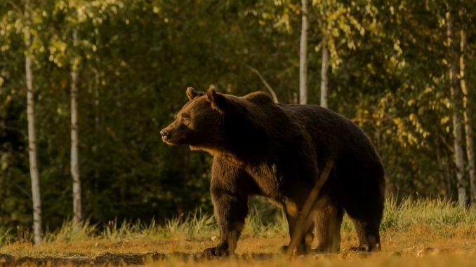 Životinje i lov: Princ iz Lihtenštajna osumnjičen da je ubio jednog od najvećih evropskih medveda 2