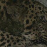 """Kina, životinje: Sedam i kusur dana potrage za """"ničijim"""" leopardom 11"""