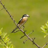 Otkrivena nova vrsta ptice za područje Srbije, dugorepi svrčak 13