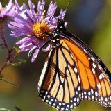 Malo poznate činjenice o krilima leptira 8