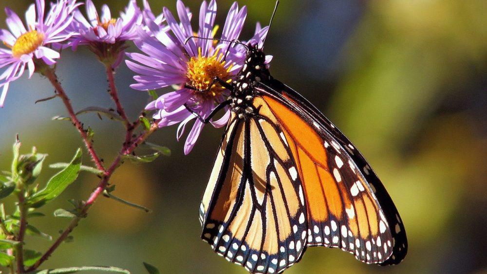 Malo poznate činjenice o krilima leptira 1