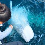 Rusija, životinje i špijunaža: Hvaldimir - traženje utočišta za kita proglašenog ruskim špijunom 9