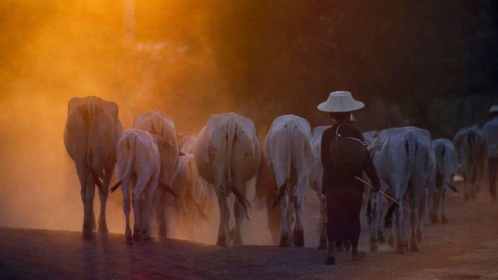 A cow herder in Thailand