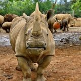 Životinje: Ženka belog nosoroga stigla u Japan u potrazi za partnerom 36