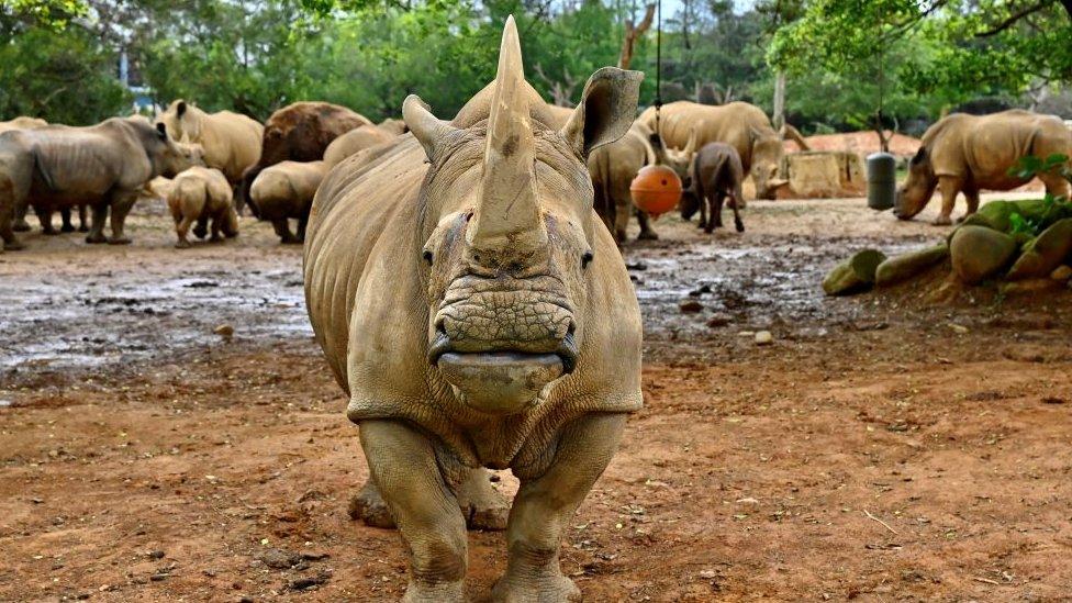 Životinje: Ženka belog nosoroga stigla u Japan u potrazi za partnerom 15
