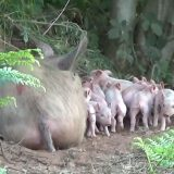 Životinje i zanimljivosti: Trudna svinja pobegla sa farme da se oprasi u šumi 10