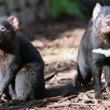 Australija i životinje: Borba za opstanak - kako je tasmanijski đavo zbrisao koloniju patuljastih pingvina 12
