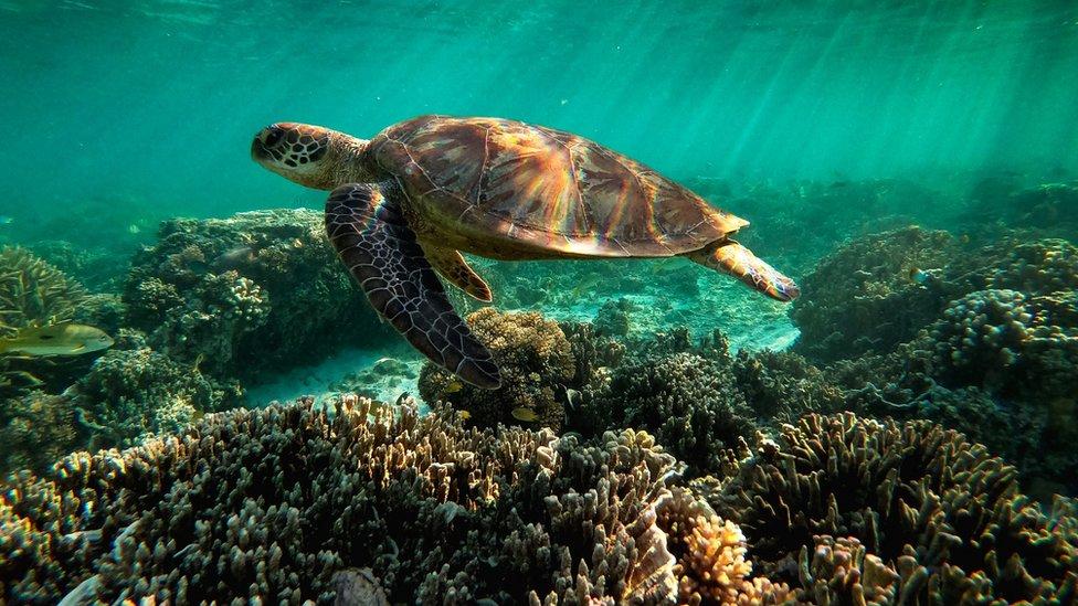 Kornjača na Velikom koralnom grebenu