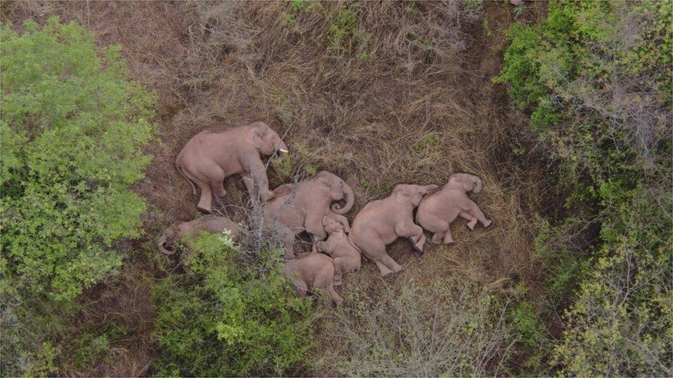 Fotografije slonova koji spavaju urađene dronom postale su viralne širom Kine i sveta