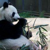 Životinje: Kakva sreća - džinovska panda rodila blizance u zoološkom vrtu u Tokiju 5