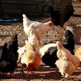 Kosovo: Uklonjena živina sa 38 farmi zbog ptičjeg gripa 11