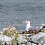 Nakon 120 godina morski galeb se ponovo gnezdi u Srbiji 5
