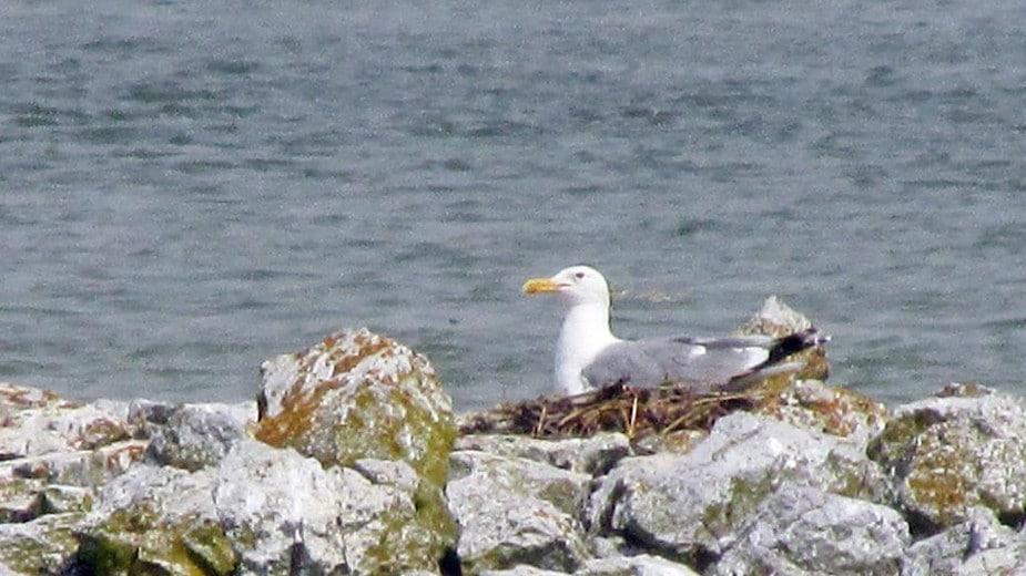 Nakon 120 godina morski galeb se ponovo gnezdi u Srbiji 1