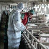 EFSA: Kampanja sprečavanja širenja afričke kuge svinja proširena na nove zemlje 10