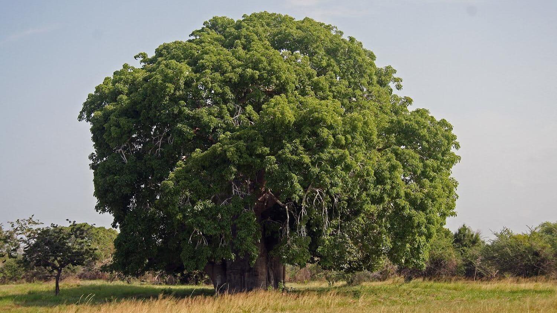 Afrika (5): Pod čudesnom krošnjom baobaba 1