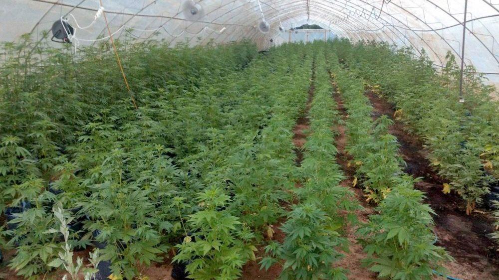 Ko koči legalizaciju marihuane u medicinske svrhe u Srbiji? 3