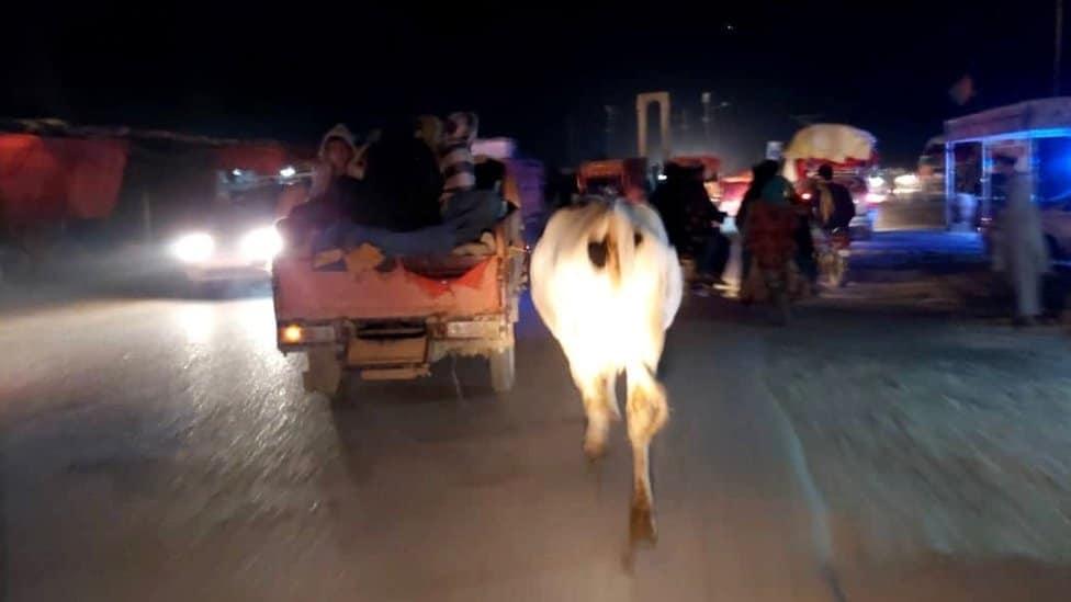 Krava između vozila