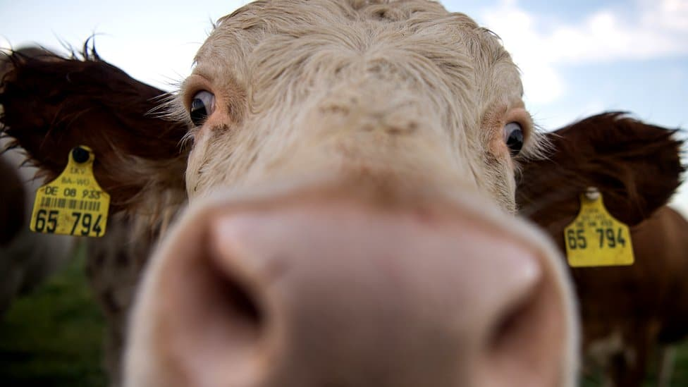A cow looks into the lens of a camera